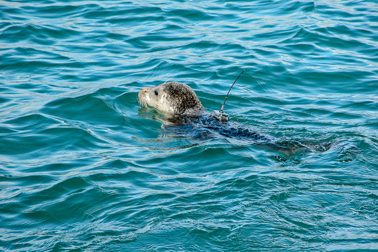 Photo of a tagged harbor seal.