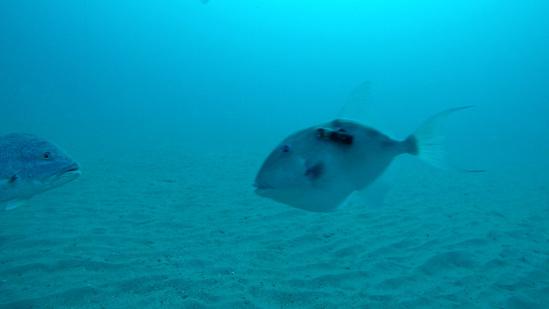 gray triggerfish swimming