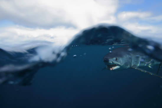 Shortfin mako below surface