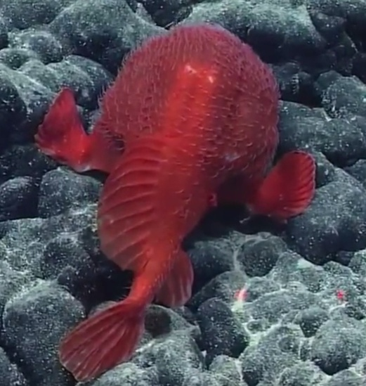 Bright-red Chaunacops