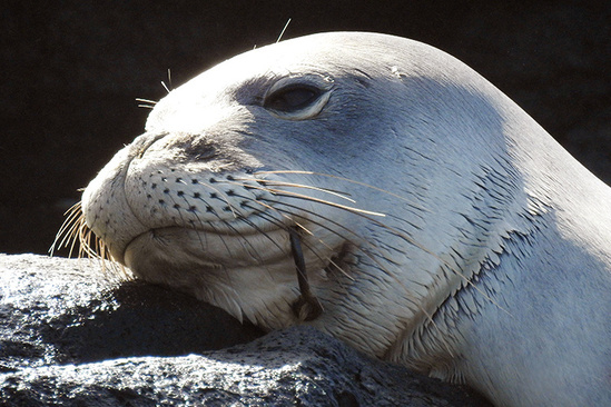 Fishing hook stuck on left-side of monk seal cheek.