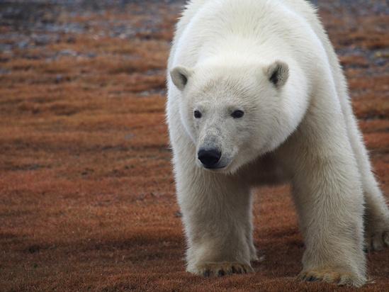 polar-bear-marina-lindsey-kaktovik16.JPG