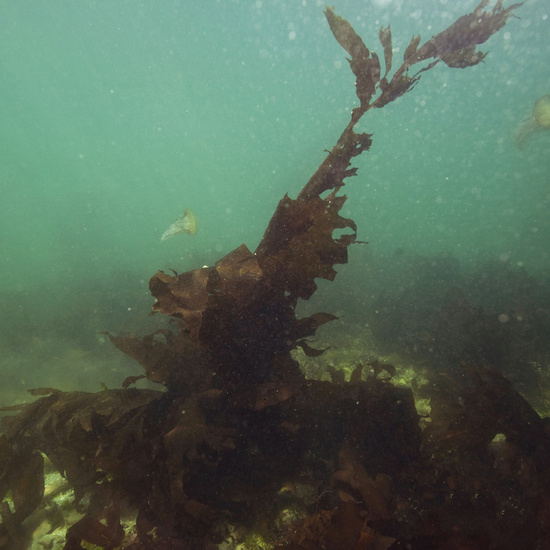 Asian kelp on seafloor.