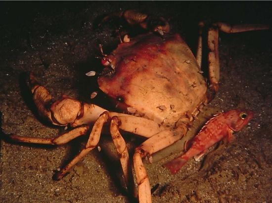 fish-golden-crab-image.jpg