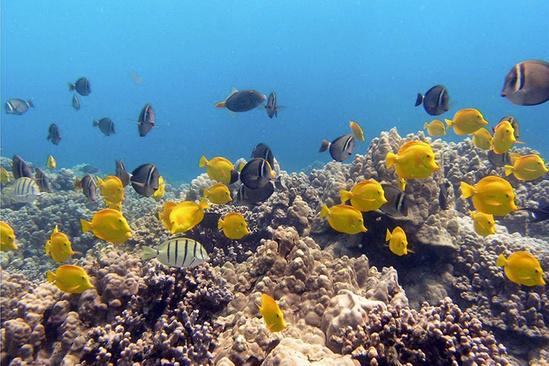 Surgeonfish near lobe corals.