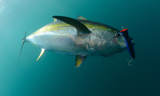 Yellowfin tuna with lure in mouth