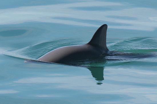 Image of a vaquita swimming.