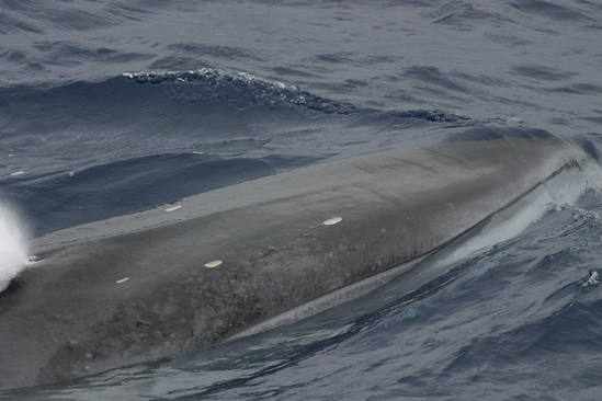 A close up photo of a fin whale.