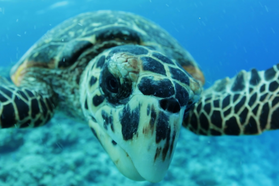 Hawksbill Turtle_1.png