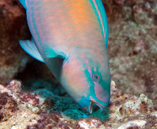A brightly colored male bullethead parrotfish feeds on microbes on a coral reef.