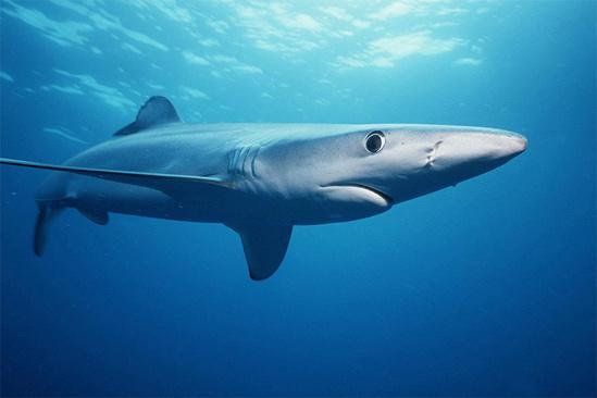 Blue-Shark-SWFSC-towards-right-750x500.jpg