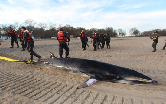 A stranding response team with a dead minke whale on the beach