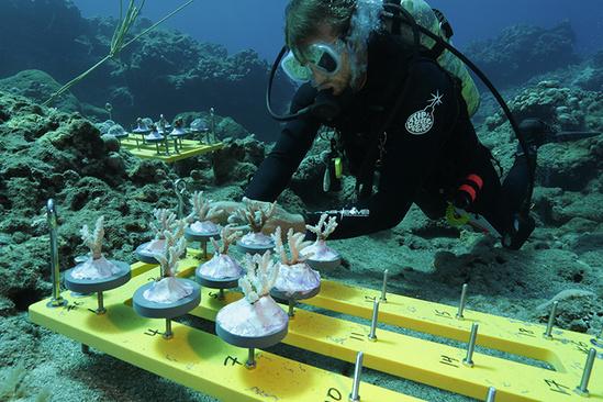 Scientist in dive suit underwater placing corals on seafloor.
