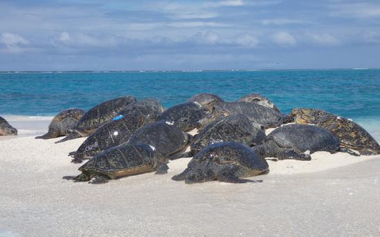 Adult turtles basking on beach