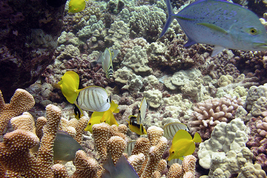 Trevally chromis butterflyfish surgeonfishes