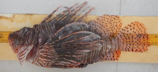 Measuring a dead Lionfish