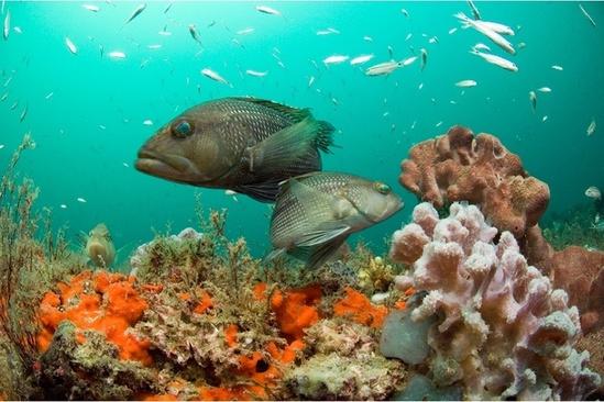 black-sea-bass.jpg