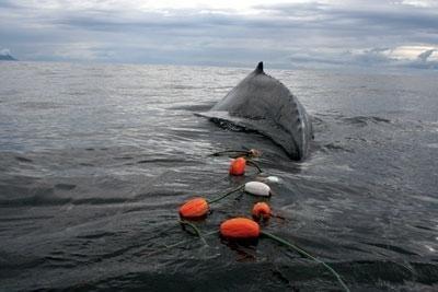 Humpback whale trailing a gillnet