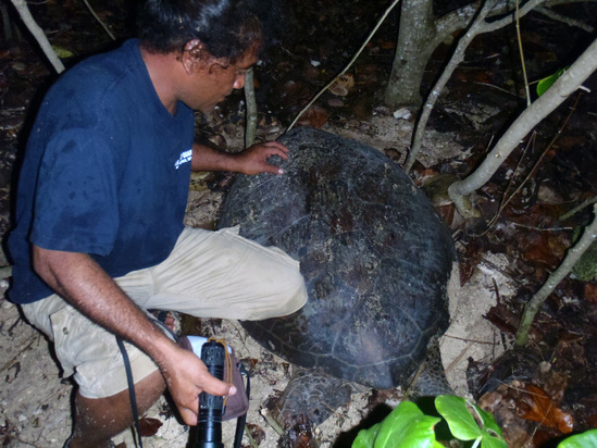 Jessy Hapdei, CNMI Department of Lands and Natural Resources staff, waits for a green turtle to finish covering her clutch before carefully measuring and tagging her during a survey on a nesting beach in Saipan.