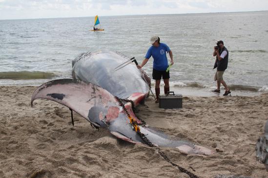 Dead Bryde's whale