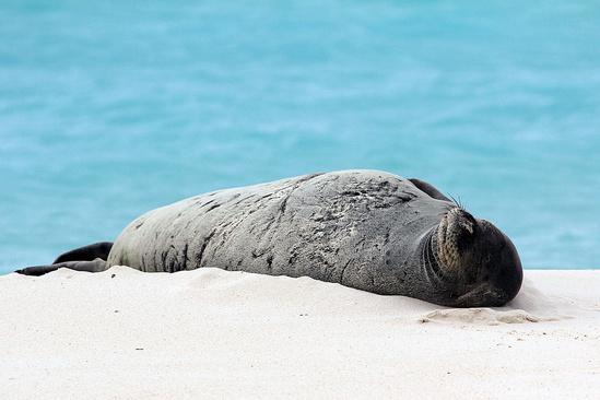 monk-seal-midway-NOAA.jpg