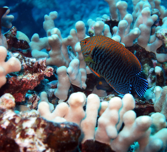 Potter's angelfish_Centropyge potteri.jpg