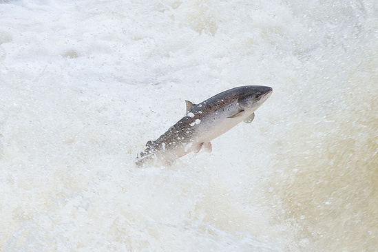 A large fish jumps out of rapids