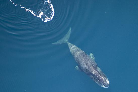An aerial photo of a bowhead whale.