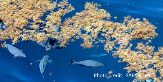 habitat-sargassum-image.jpg.png