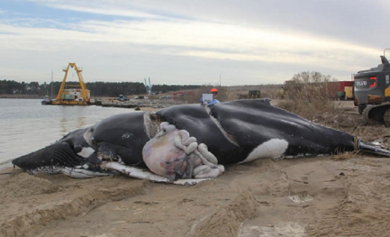 Dead stranded humpback whale showing evidence of pre-mortem propeller injuries.