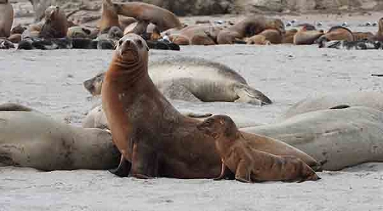 California sea lion female with underweight pup.
