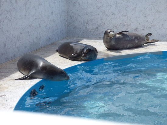 Healthy Hawaiian monk seal pups at the temporary holding tank at the NOAA Inouye Regional Center in Honolulu.
