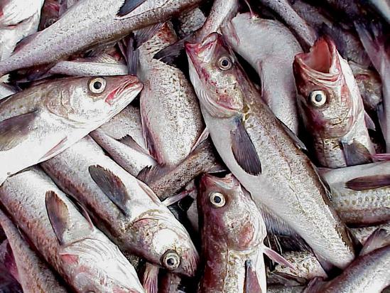 Groundfish_Walleye_pollock.jpg