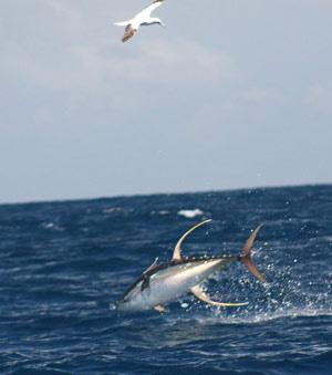 yellowfin_tuna.jpg