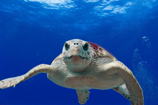 Seat Turtle restoration deepwater horizon gulf of mexico.jpg