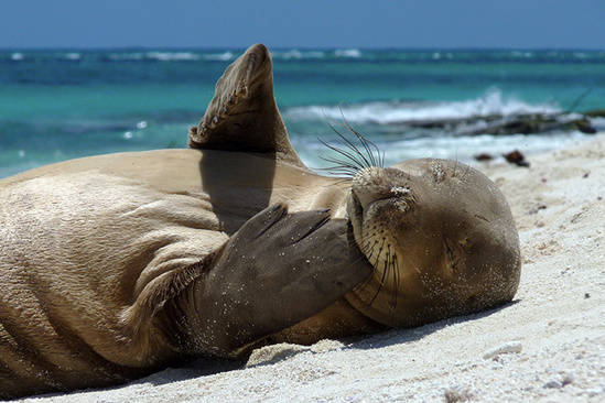 Monk seal scratching its face.