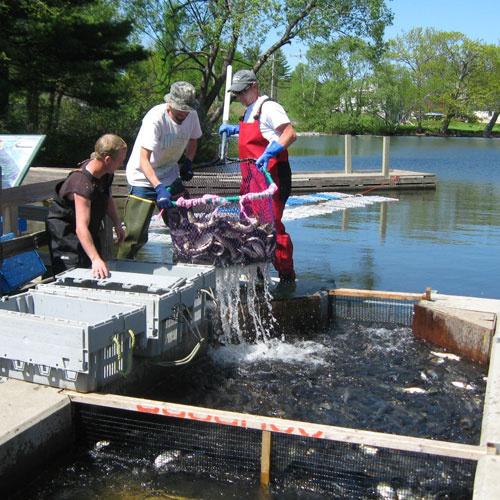 500x500_Harvesting-sea-run-fish-at-Vassalboro-Pond_NOAA.jpg