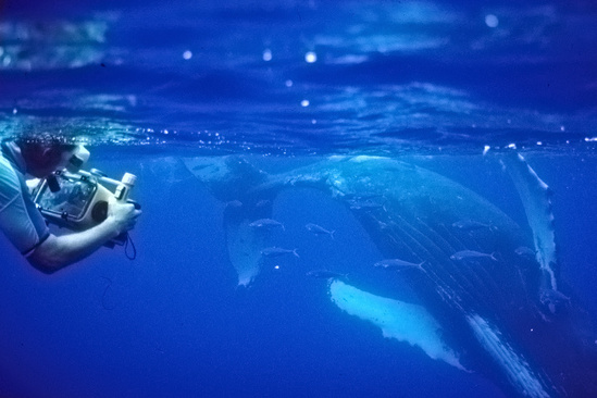 Researcher underwater with video equipment measuring a humpback whale.