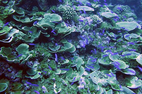 A school of purple queen anthias fish.