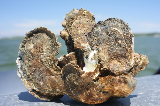 NCBO restored Harris Creek oysters.jpg