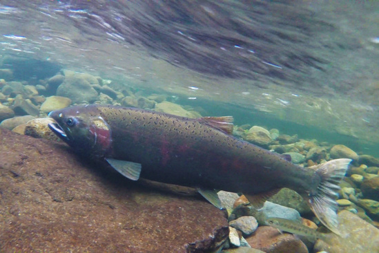 west coast coho salmon spawning 1920.1080 c BLM.jpg