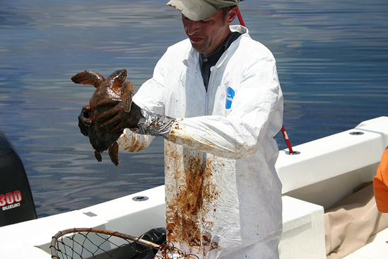 Man wearing protective gear holding an oiled sea turtle