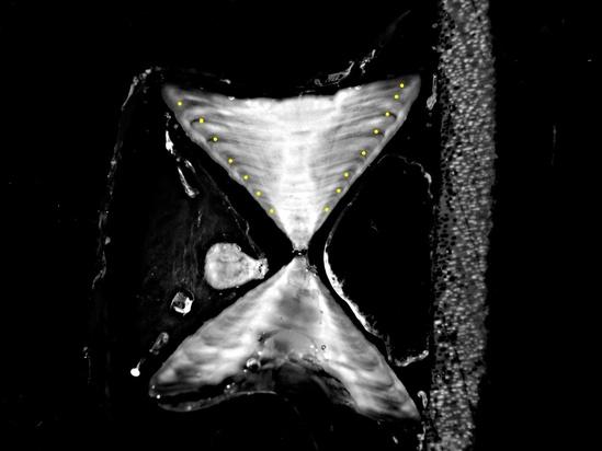 vertabrae-skate-7-8-years-old-NOAA-NWFSC.jpg