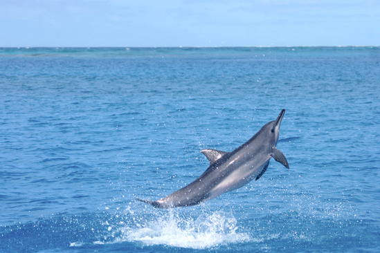 Spinner dolphin jumping out of the water.