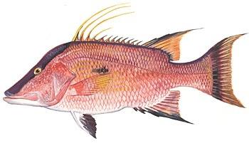 fish-hogfish-image.jpg