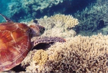 Image of sea turtle and coral reef
