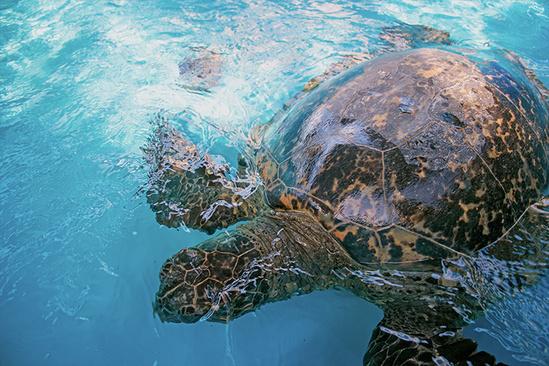 Rehabilitating green sea turtle.
