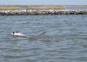 Dolphin Y01 pushes dead calf through the water.