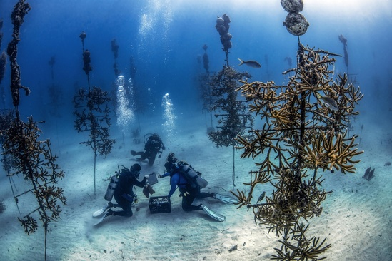 CRF divers out planting coral colonies . Credit: Zach Ransom/Coral Restoration Foundation