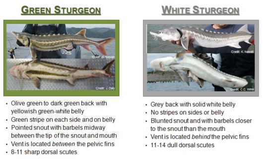 Graphic detailing the differences between white and green sturgeon.